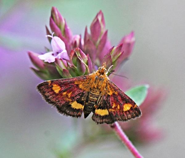 Micro Moth (Pyrausta Purpuralis) by Snapitt