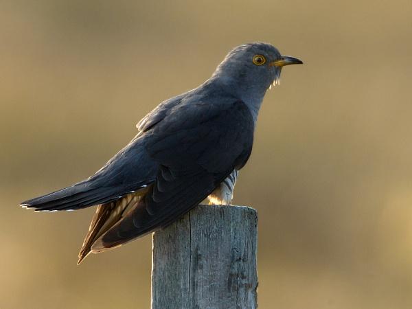 Common Cuckoo by Jamie_MacArthur