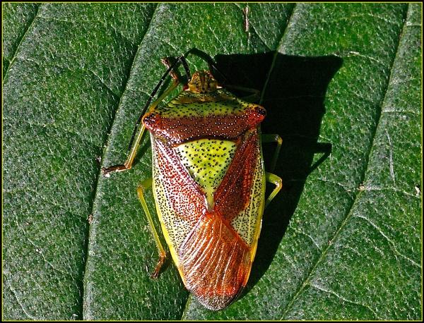 Birch Shieldbug by fentiger