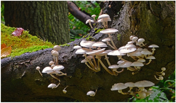 "\""Porcelain Fungi\"" by RonnieAG"