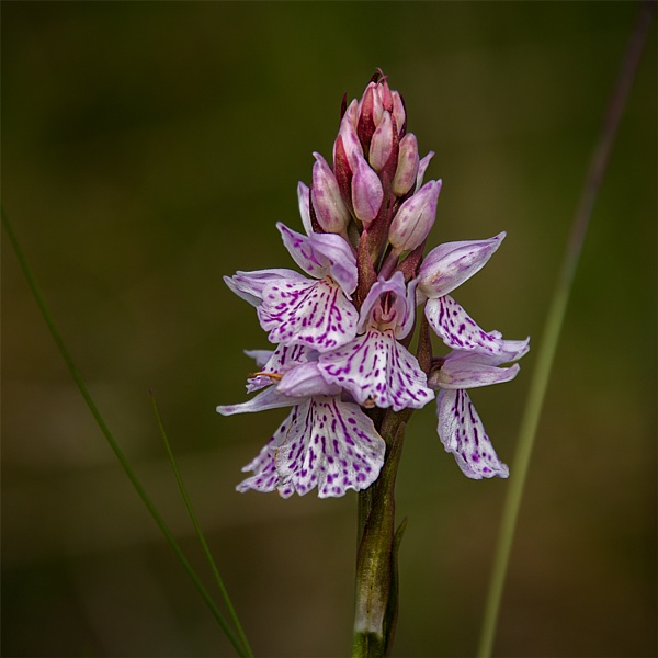 Wild Orchid by Dixxipix