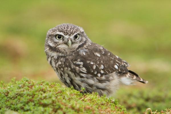 Little Owl by Shane136