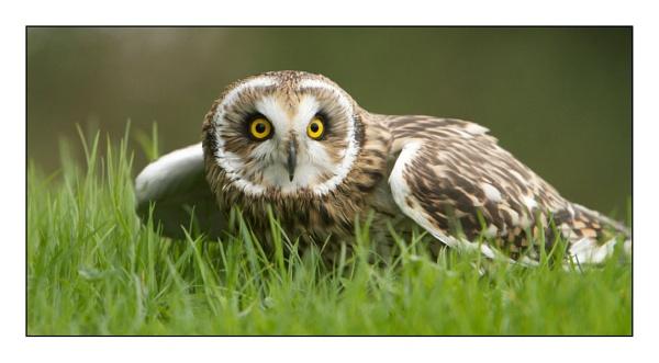 Short Eared Owl by Shane136