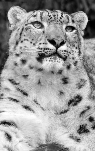 snow leopard by photoflacky