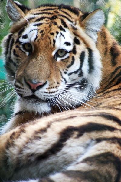 amur tiger by photoflacky