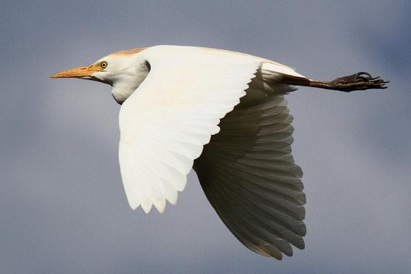 Egret by ianto