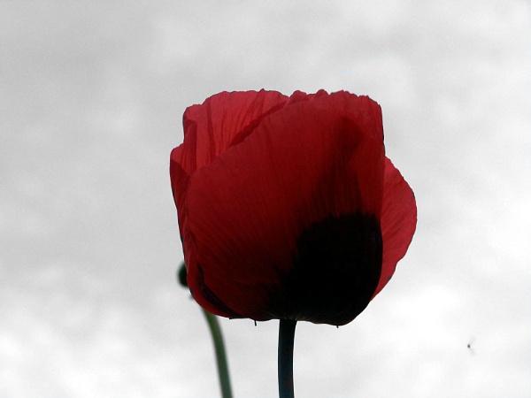 poppy by rose1515