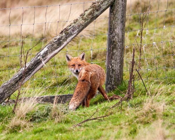 Welsh Fox by jingler