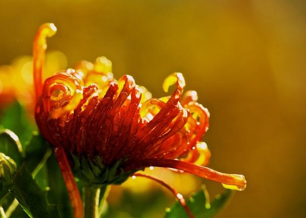 Chrysanthemum by Newdawei