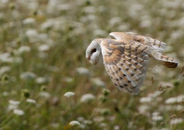 Barn Owl in flight by McClicker
