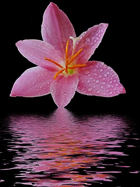 2502-pink flower by binder1