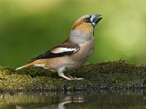 Hawfinch by DaveWales