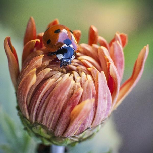 Ladybug by GoranStamenkovic