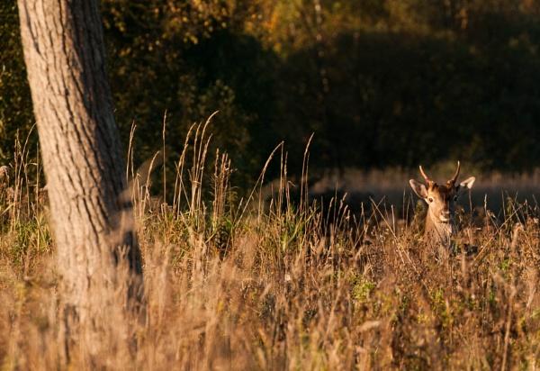 Roe deer stag near Sandringham by Putnam