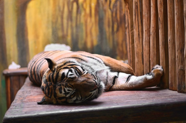 Sleeping Tiger by adlene72