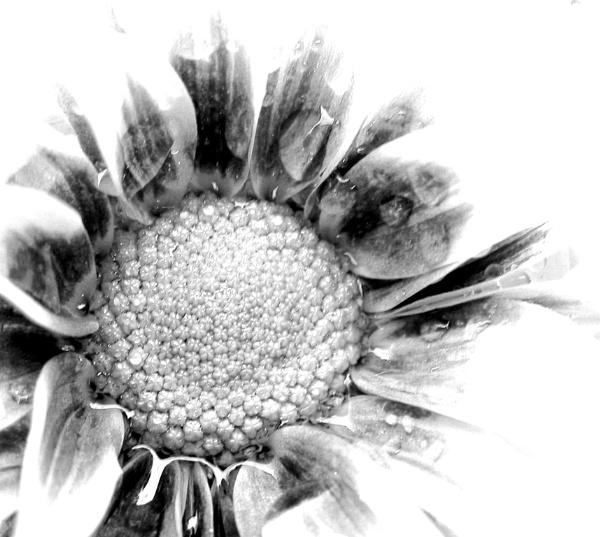 b&w flower by enfys