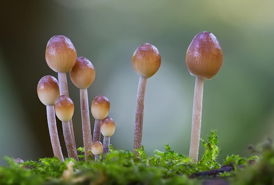 Matchstalk Fungi