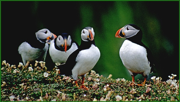 Puffin Quartet by Badgerfred