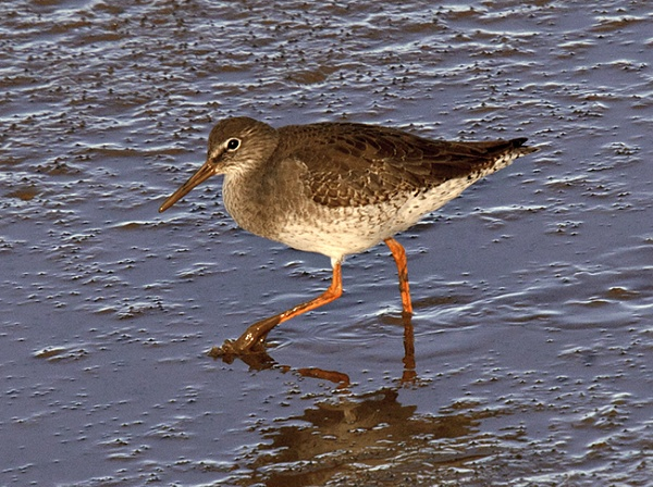 Redshank by itsme2