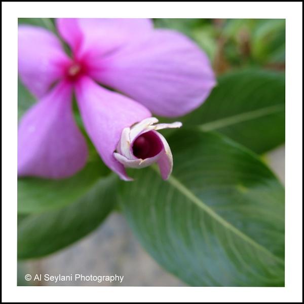 Blooming Bud - Vinca by jmu