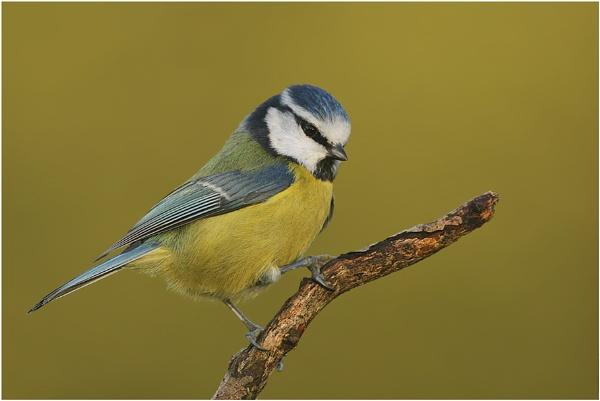 Blue Tit by NigelKiteley
