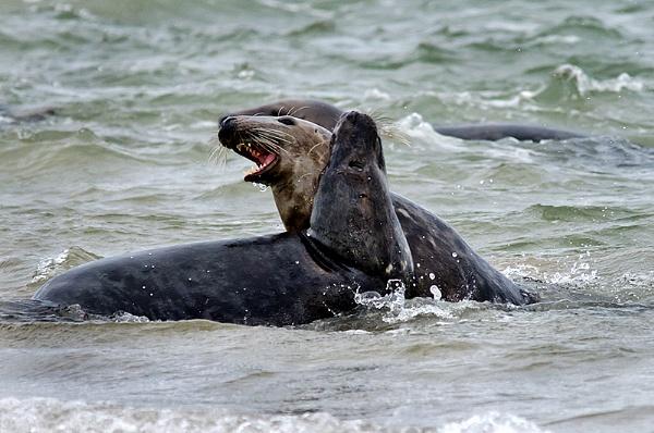 Atlantic Grey Seals by icphoto