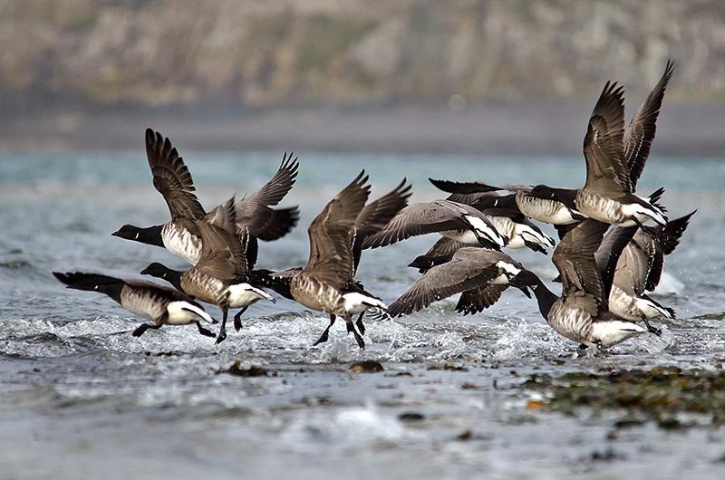 Brent Geese taking flight