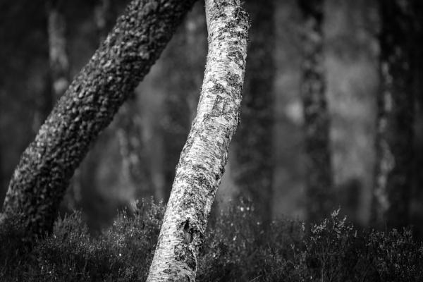 Birch by fraser