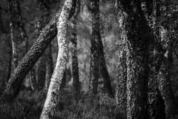 Birch in a Pinewood by fraser