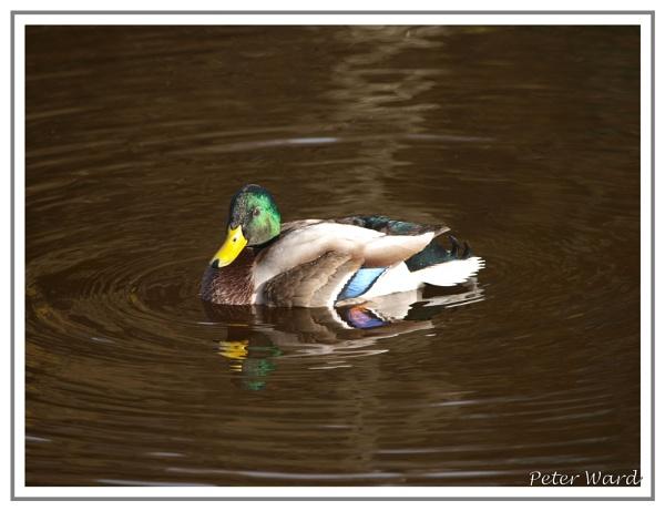 Looking Good Mr Duck