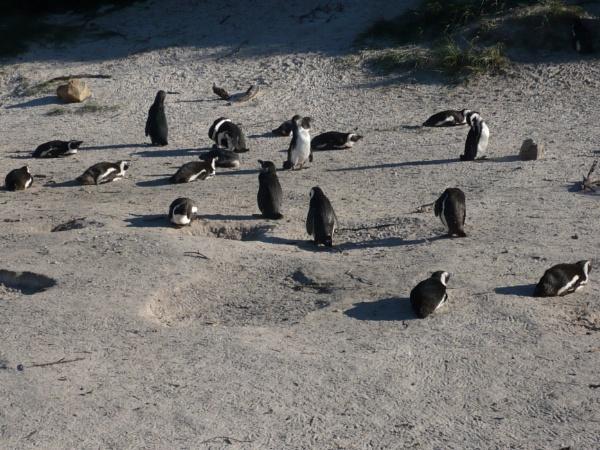 Cape Penguins by Spring2bok