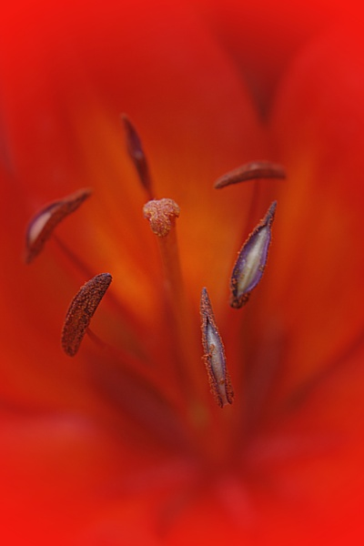 Vesuvius Macro Red lily by edesigns15