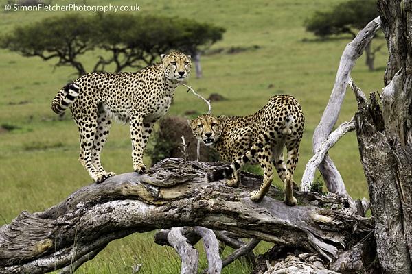 Cheetahs on a Tree by SimonFletch