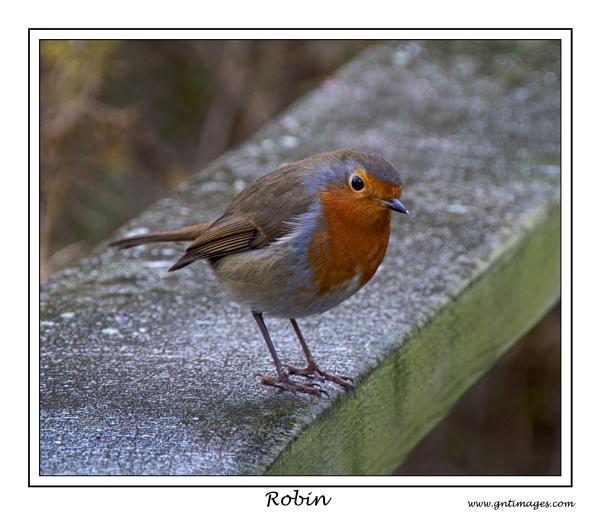 Robin by GlynnisFrith