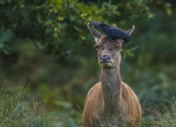 red deer by Tom-Melton