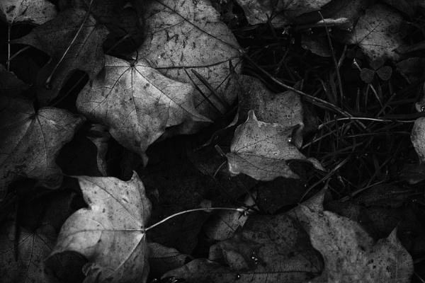 Fallen Leaves by FrankThomas