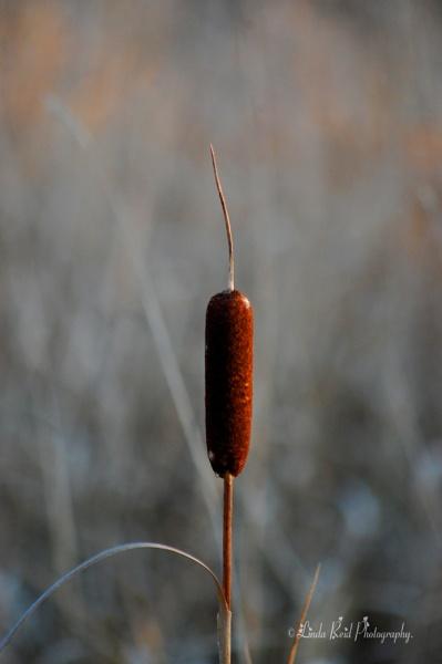 Reeds by linda68