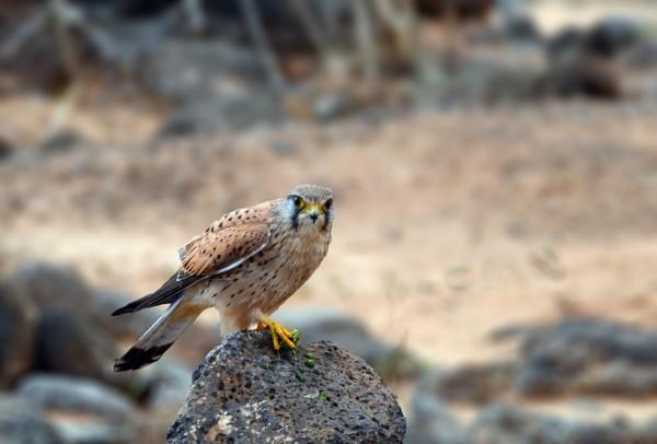 Kestrel by heron