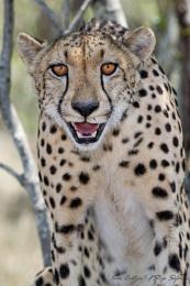 Cheetah attitude