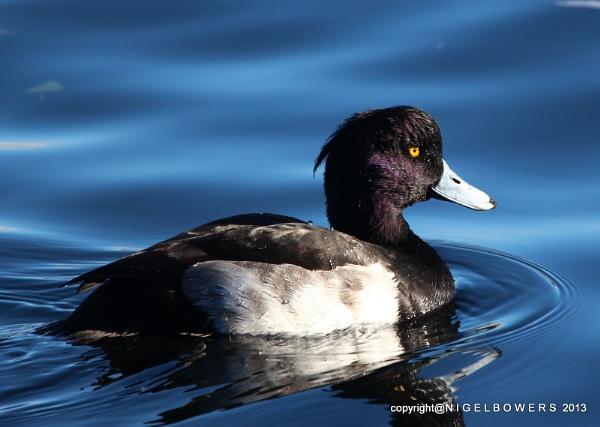 Happy Tufted Duck by advancedbiker