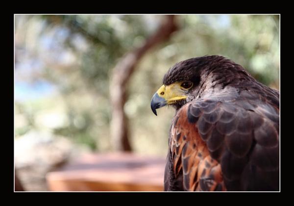 A Harris\' Hawk by alistairfarrugia