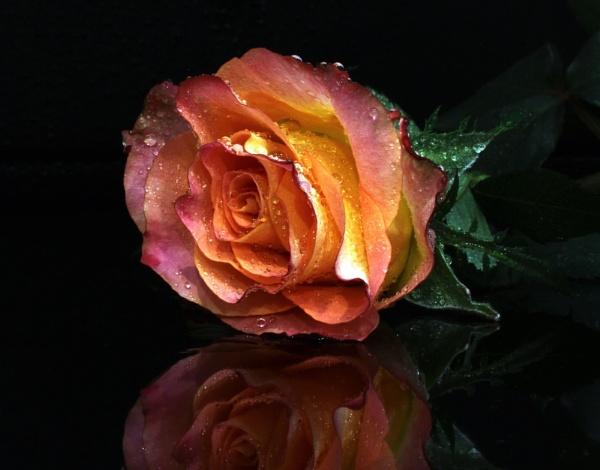 rose by Visoko1960