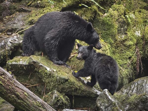 Black Bear with Cub by glimpsesborrowed