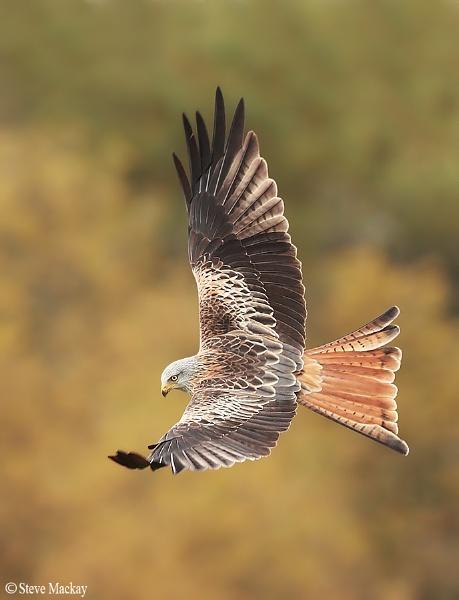 Autumnal Red Kite by SteveMackay