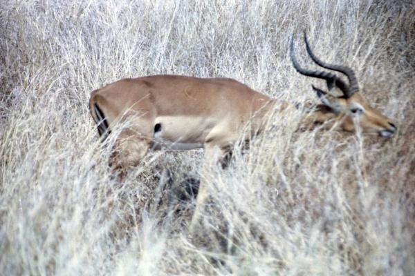 Impala bull by Spring2bok