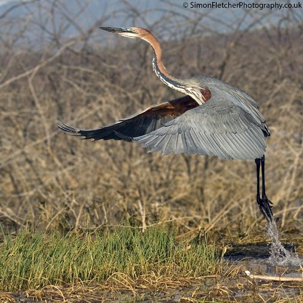 Goliath Heron by SimonFletch