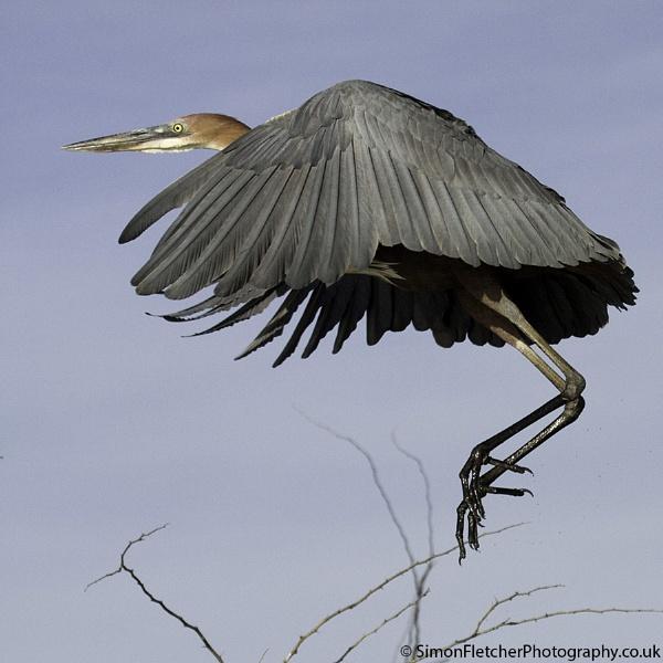"\""Umbrella\"" Goliath Heron by SimonFletch"