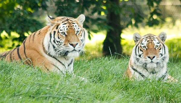 Tigers by Snappersal