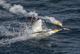 2 Gannets 1 fish.....