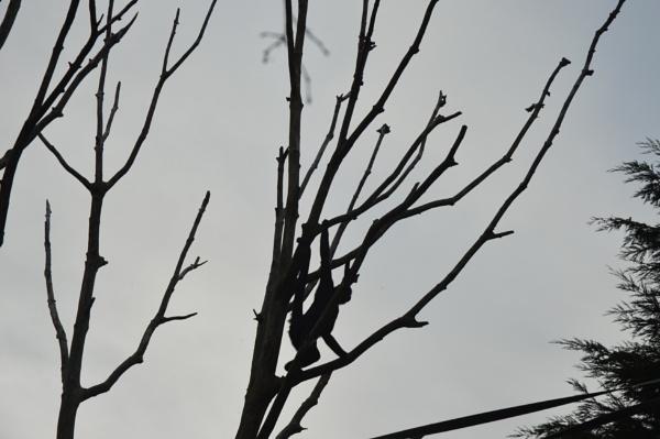 Monkey in tree by franS